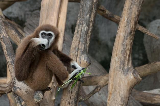 Gibbon à main blanche (hylobates lar) assis sur du bois