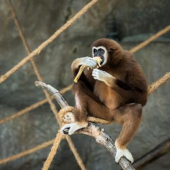 Gibbon à mains blanches.