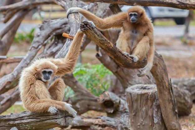 Gibbon mangeant les arbres dans la forêt.