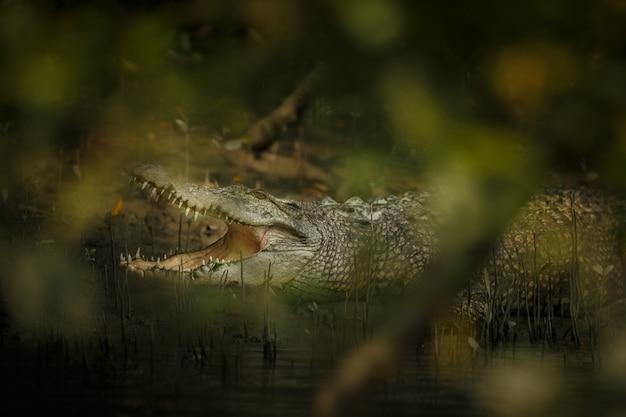 Un gigantesque crocodile d'eau salée capturé dans les mangroves des sundarbans en inde