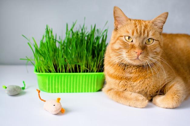 Le gingembre, le chat rouge mangent de l'herbe verte. herbe verte juteuse pour les chats, avoine germée utile pour les chats.