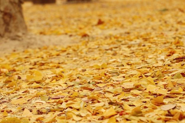 Ginkgo feuilles au printemps corée