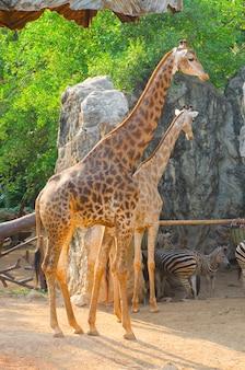 Girafe au zoo, thaïlande