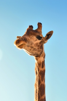 Girafe bouchent contre un ciel bleu