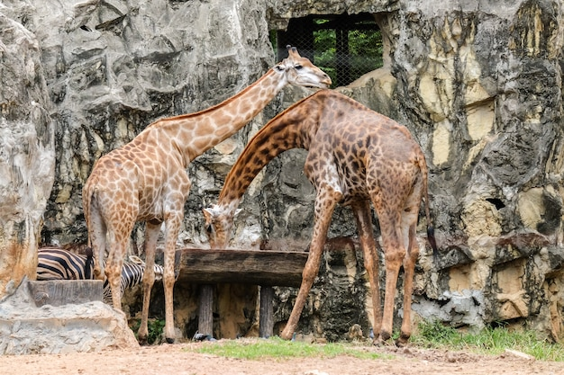 Girafe (dans la nature) eau potable dans un plateau en bois pour fond ou texture animale.