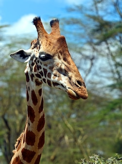 Girafe dans la savane africaine dans leur habitat naturel