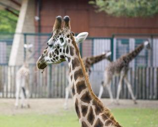 Girafe dans un zoo