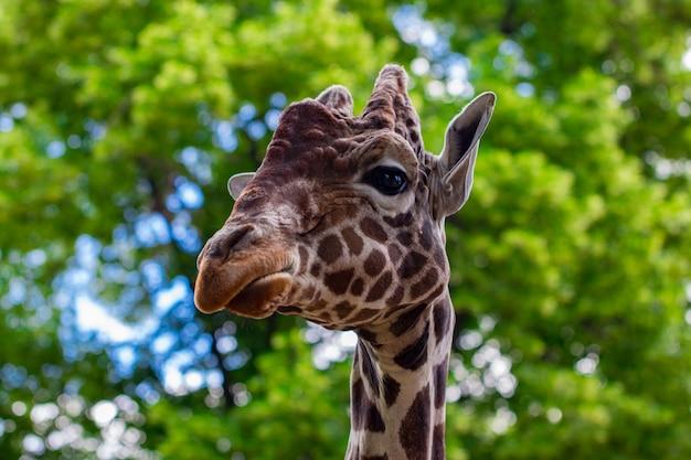 Une girafe devant quelques arbres verts.