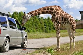 Girafe douce