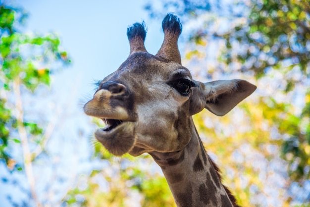 Une girafe est un animal à mâcher. la caractéristique est que l'animal est grand, longues jambes, l