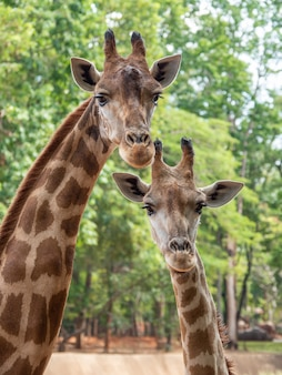 La girafe est l'animal le plus élevé
