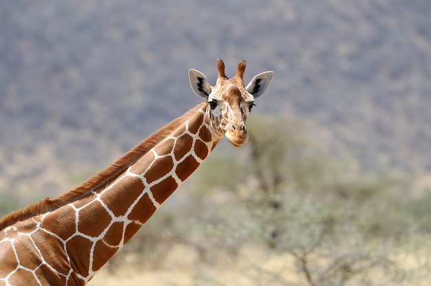 Girafe à l'état sauvage