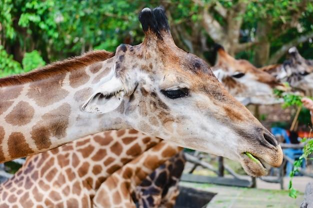 Girafe être nourri