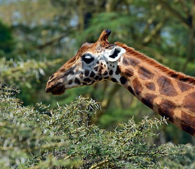 Girafe (giraffa camelopardalis) dans le parc national kruger