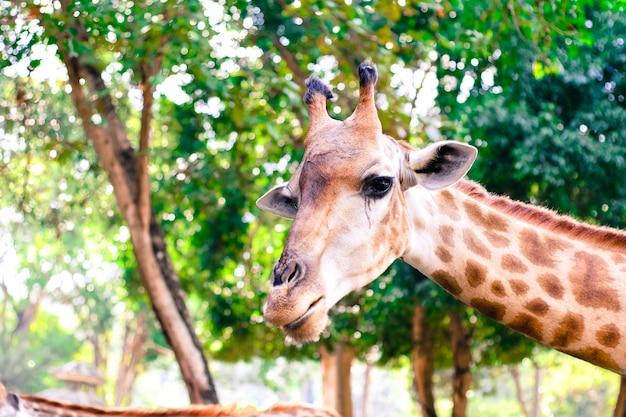 La girafe mange des feuilles.