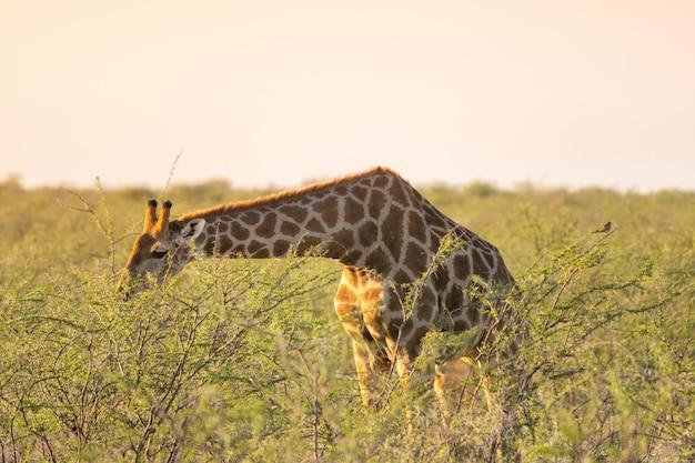 Girafe mangeant de minuscules feuilles d'acacia vert à okaukuejo, etosha national park, namibie