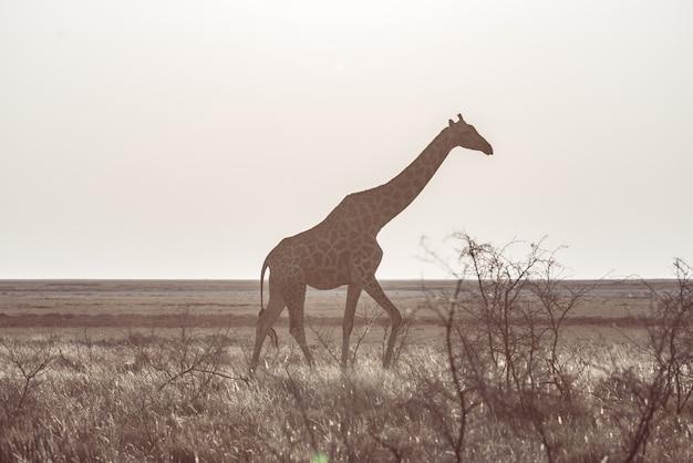 Girafe marchant dans la brousse sur le plateau du désert. safari animalier dans le parc national d'etosha.
