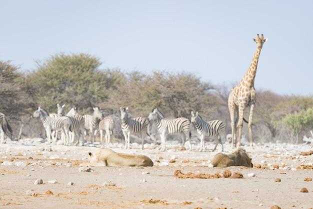 Girafe marchant près des lions allongés sur le sol. safari animalier dans le parc national d'etosha.
