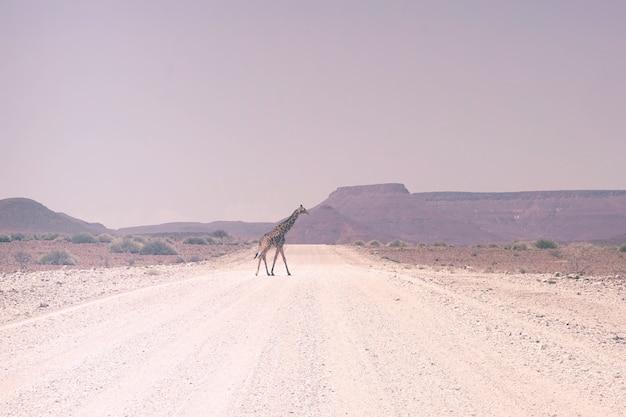 Girafe marchant sur route