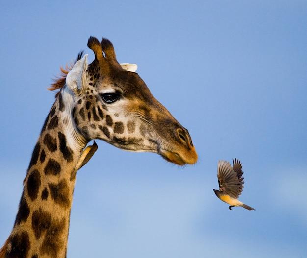Girafe avec oiseau.