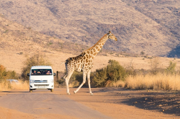 Girafe de près du parc national de pilanesberg, afrique du sud. safari et faune
