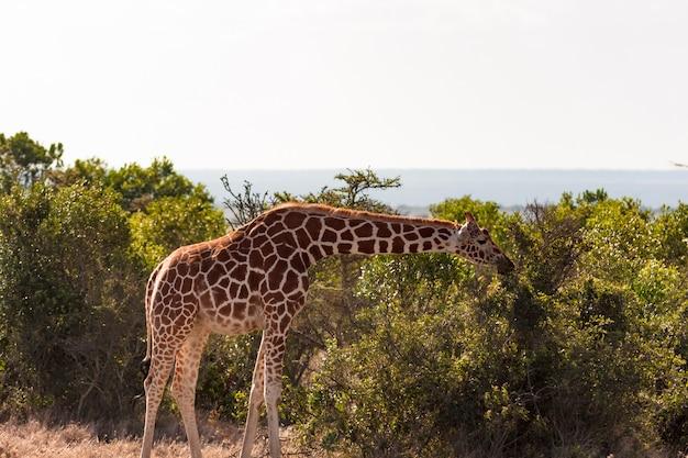 Girafe réticulée parmi un arbre. masai mara, afrique
