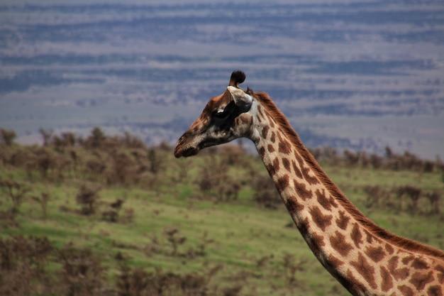Girafe en safari au kenya et en tanzanie, afrique
