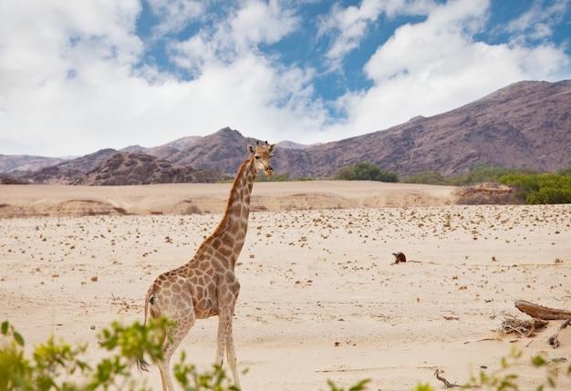 Girafe sauvage dans le bush africain, namibie