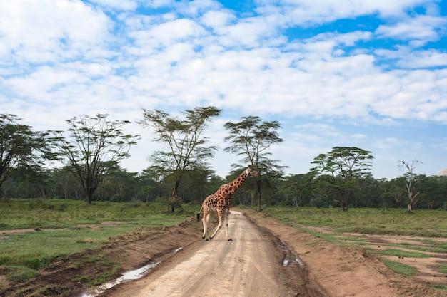 Girafes africaines traversant la route