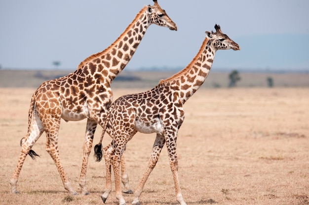 Girafes au kenya