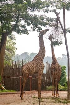 Girafes au zoo de singapour