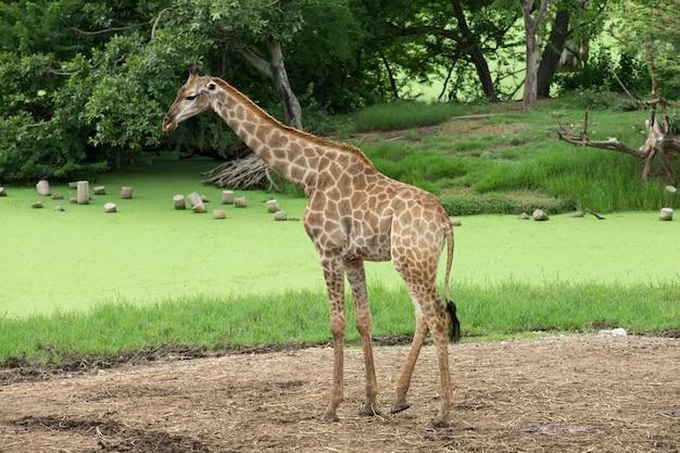 Girafes dans le parc safari du zoo