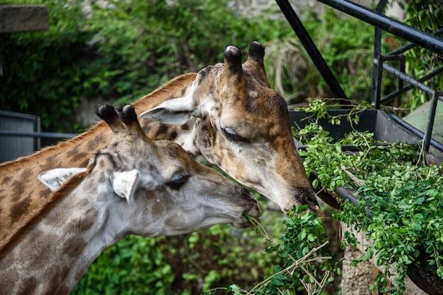 Les girafes mangent des aliments que l'homme nourrit