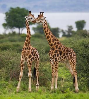 Les girafes se tiennent dans le contexte du nil.