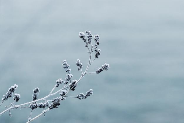 Givre sur une branche d'une plante sèche. plante sèche couverte de givre sur un arrière-plan flou