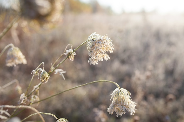 Givre sur l'herbe sèche dans le pré. givre couvert d'herbe ou de fleurs sauvages. premier gel dans la prairie de campagne d'automne. fond coloré.