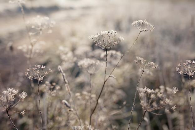 Givre sur l'herbe sèche dans le pré. givre couvert d'herbe ou de fleurs sauvages. premier gel dans la prairie de campagne d'automne. fond d'hiver.