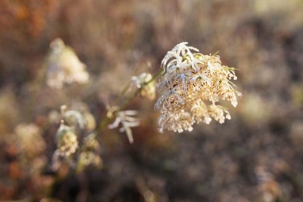 Givre sur l'herbe sèche dans le pré. herbe couverte de givre ou fleurs sauvages. premier gel dans la prairie de la campagne d'automne.