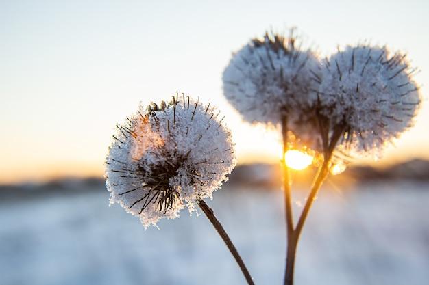 Le givre et la neige ont couvert les chardons dans un champ sauvage en hiver.