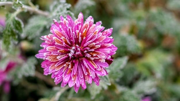 Givre sur les pétales d'un chrysanthème rose avec un arrière-plan flou