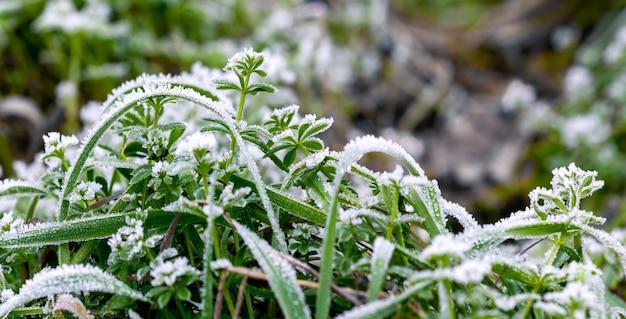 Givre recouvert d'herbe verte. fond d'hiver avec de l'herbe verte dans la neige
