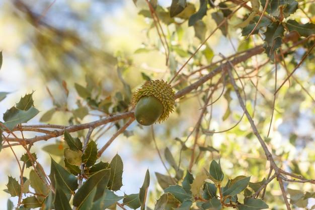 Gland sur une branche d'arbre dans la forêt d'automne
