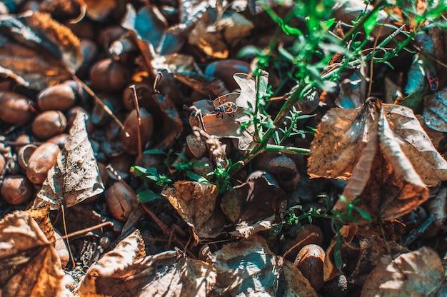 Des glands tombés avec des chapeaux reposent sur le sol dans la forêt entre les feuilles et l'herbe verte. fond texturé à partir de matériaux naturels avec mise au point sélective. copier l'espace