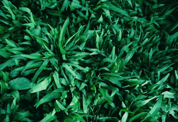 Gloire du matin feuilles fond de verdure de champ.