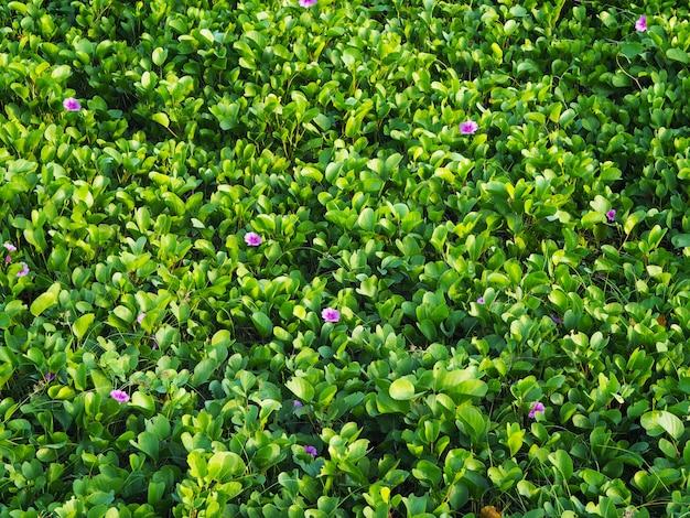 Gloire du matin pourpre avec des feuilles vertes sur la plage.