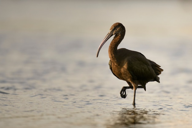 Glossy ibis plegadis falcinellus dans l'eau