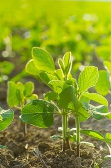 Glycine max, soja, soja poussant des graines de soja à l'échelle industrielle