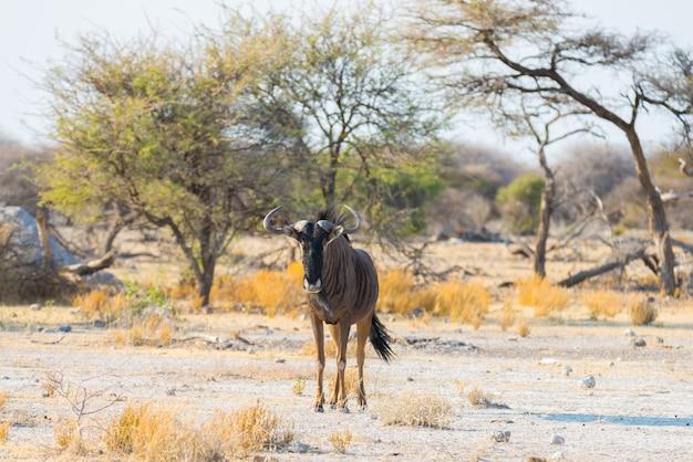 Gnou bleu marchant dans la brousse. safari animalier dans le parc national d'etosha, célèbre destination de voyage en namibie, en afrique.