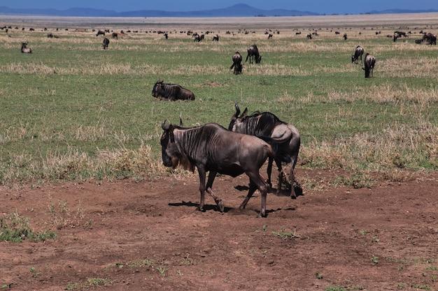 Gnous en safari au kenya et en tanzanie, afrique