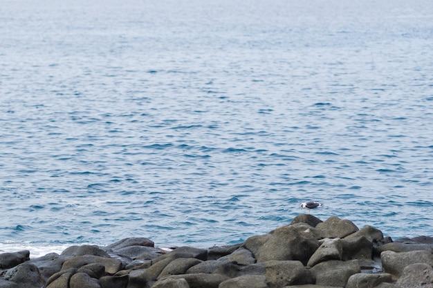 Goéland argenté sur des pierres de ballast par l'océan. . îles canaries, tenerife.